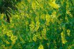 Донник желтый