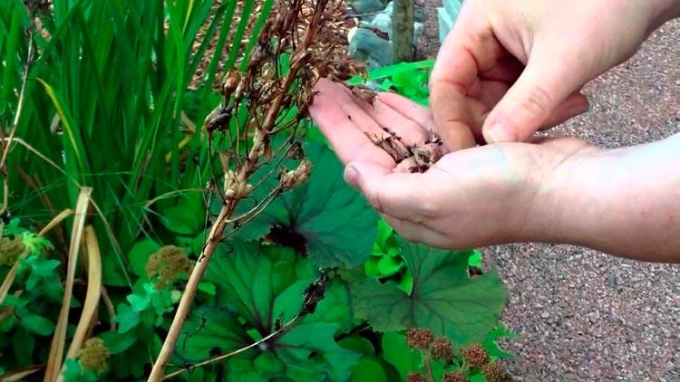 Живокость посевная Delphinium