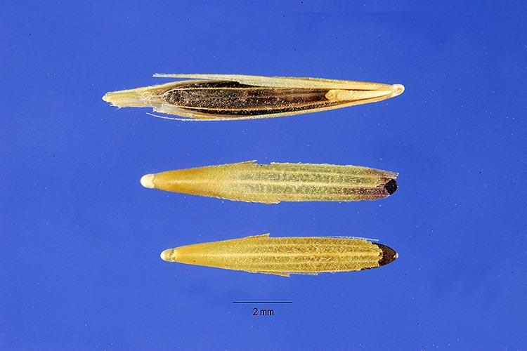 Костер ржаной (семена) Вromus secalinus