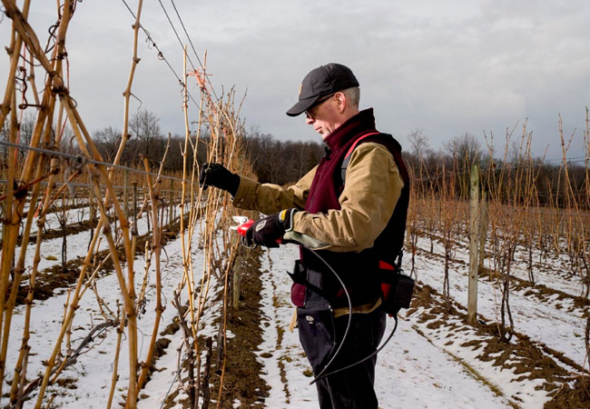 Как обрезать виноград на зиму