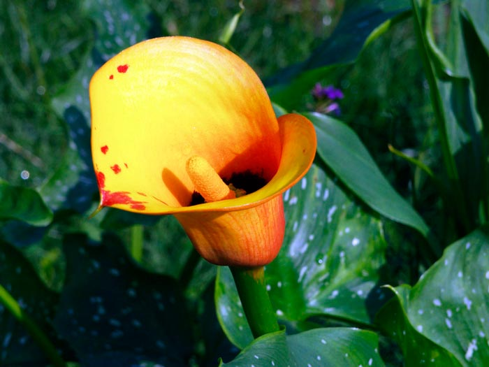 Цветок калла