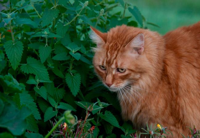 Кошачья мята Nepeta Cataria