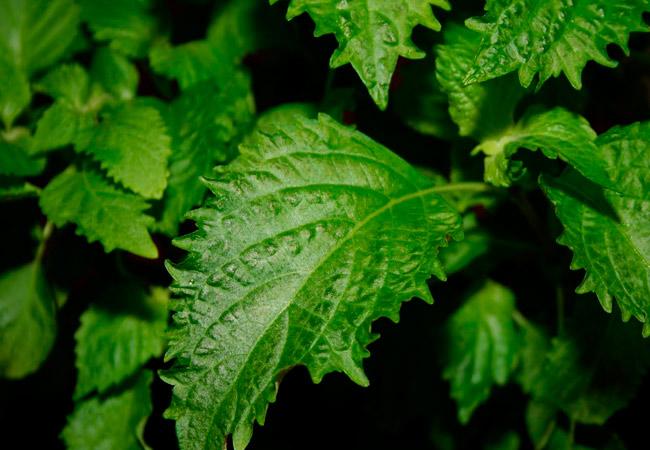 Виды мяты: японская мята Mentha japonica