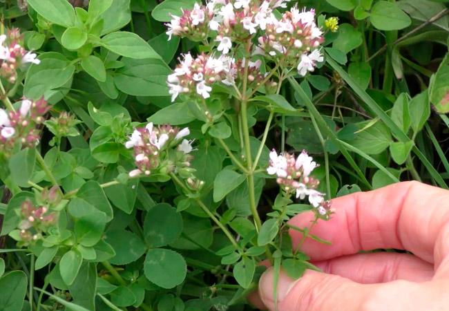 Сорта мяты: лесная мята Origanum vulgare