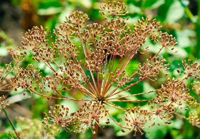 травы от кишечных паразитов