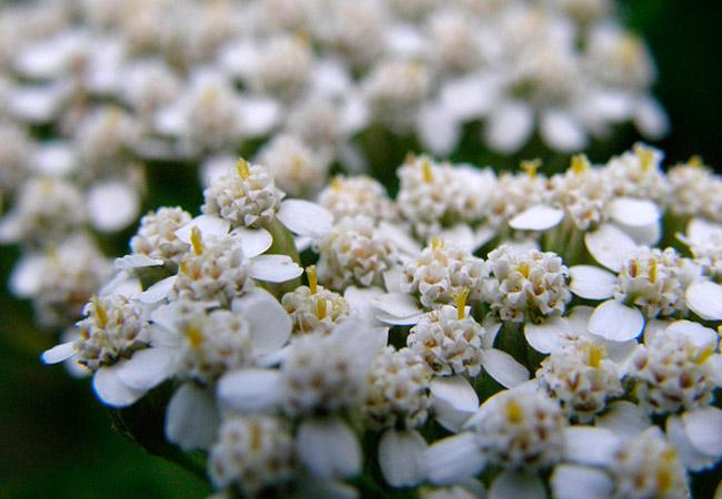 Лечебные свойства травы тысячелистника