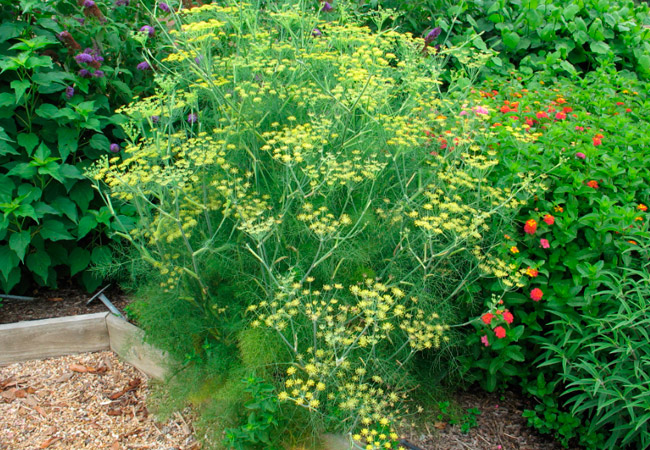 Укроп в садах и огородах (фото)