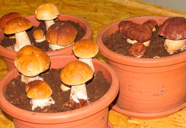 Выращивание белых грибов в подвале и теплице