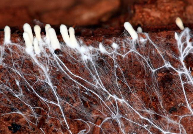 Выращивание мицелия грибов в домашних условиях