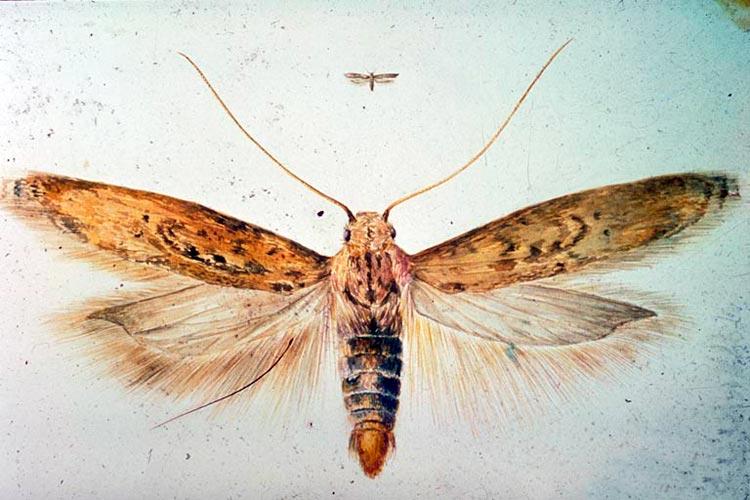 Картофельная моль – Phthorimaea operculella