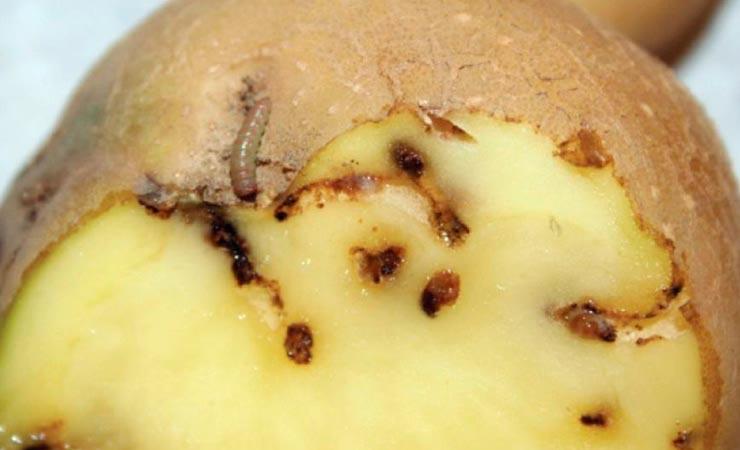 Картофель поврежденный картофельной молью