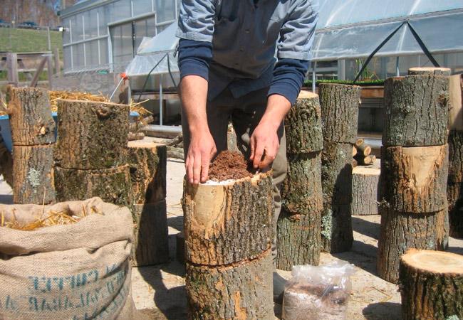 Выращивание грибов на верхней части чурок