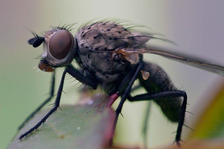 Луковая муха – Delia Antiqua