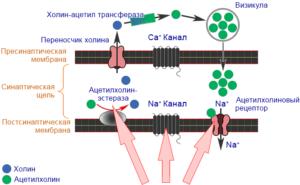 Механизм действия неоникотиноидов
