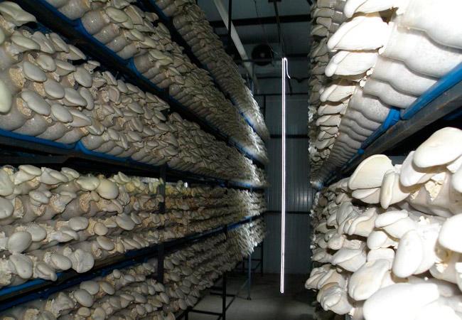 Лампы для выращивания грибов
