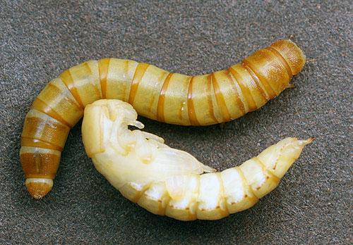 Личинка и куколка большого мучного хрущака - Tenebrio molitor