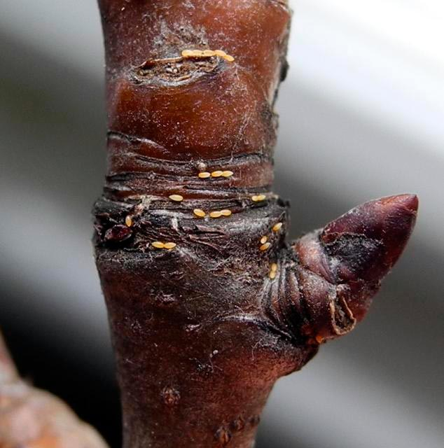 Яйца грушевой медяницы