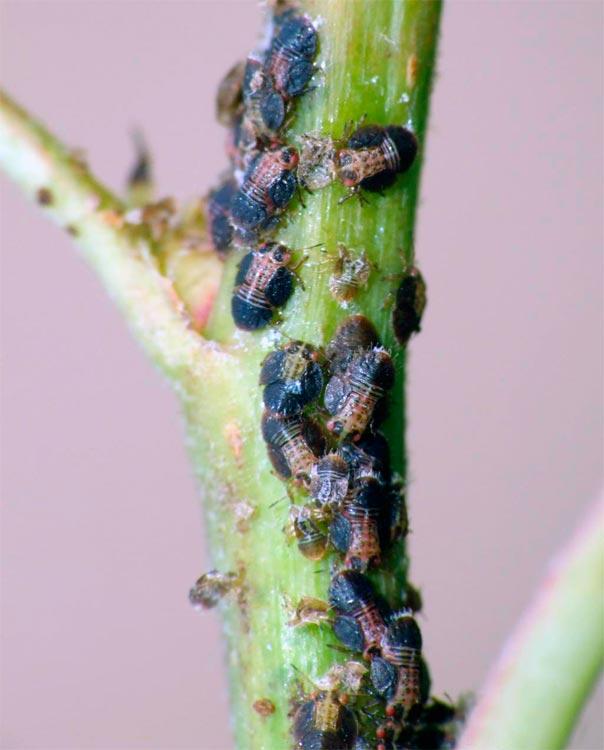 Нимфы грушевой медяницы