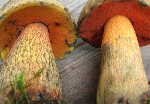Как отличить белый гриб от ложного