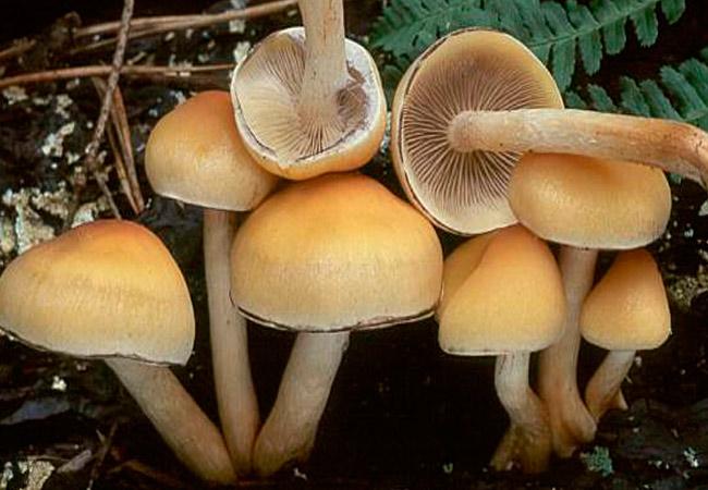 Опенок маковый (серопластинчатый)- Hypholoma capnoides