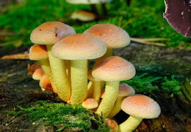 Серно-желтый опенок - Hypholoma fasciculare