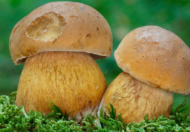 Ложный белый гриб: фото