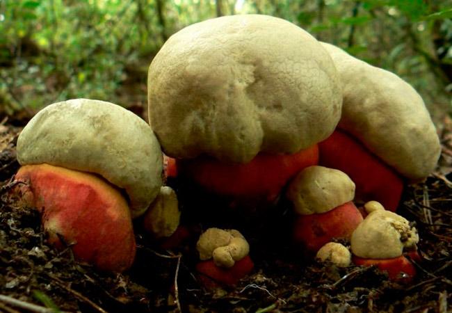 Сатанинский гриб - Boletus satanas
