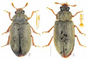 Малинный жук - Byturus tomentosus