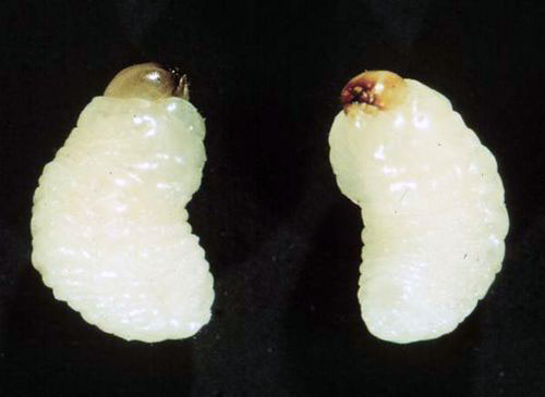 Личинка рисового долгоносика
