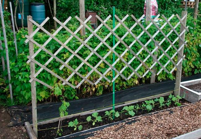 Соседи винограда на грядке