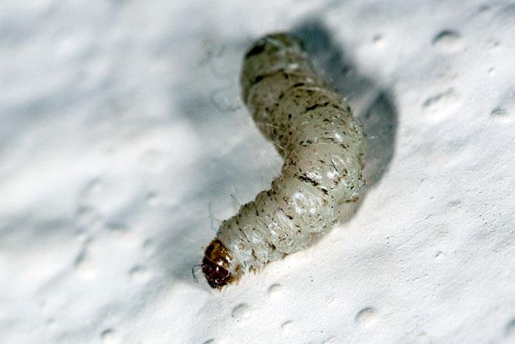 Личинка зерновой моли - Sitotroga cerealella