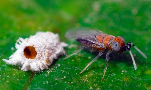 наездник из семейства энциртид - Anagyrus pseudococci