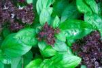 Чем полезен базилик фиолетовый для организма