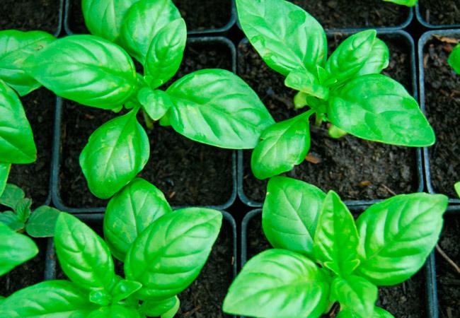 Базилик: полезные свойства растения, как употреблять, рецепты