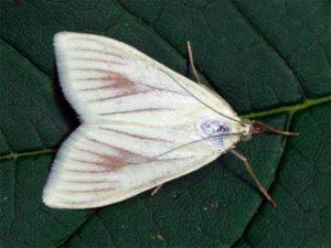 Бледный луговой мотылек - Sitochroa palealis