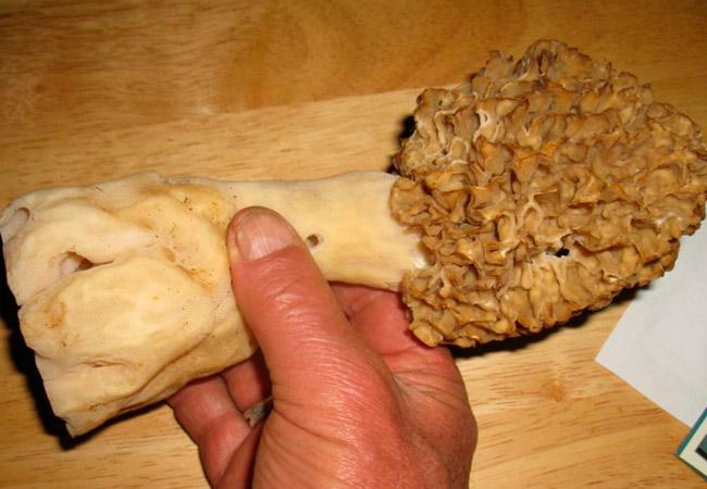 Гриб сморчок: Morchella crassipes