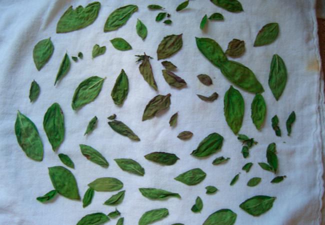 Как правильно засушить базилик на зиму