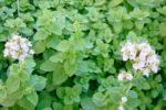 Выращивание майорана в открытом грунте