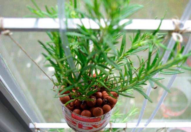Выращивание розмарина в квартире черенками