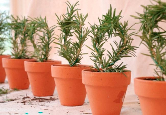 Выращивание розмарина в домашних условиях: горшок