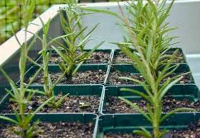 Выращивание розмарина из семян на подоконнике