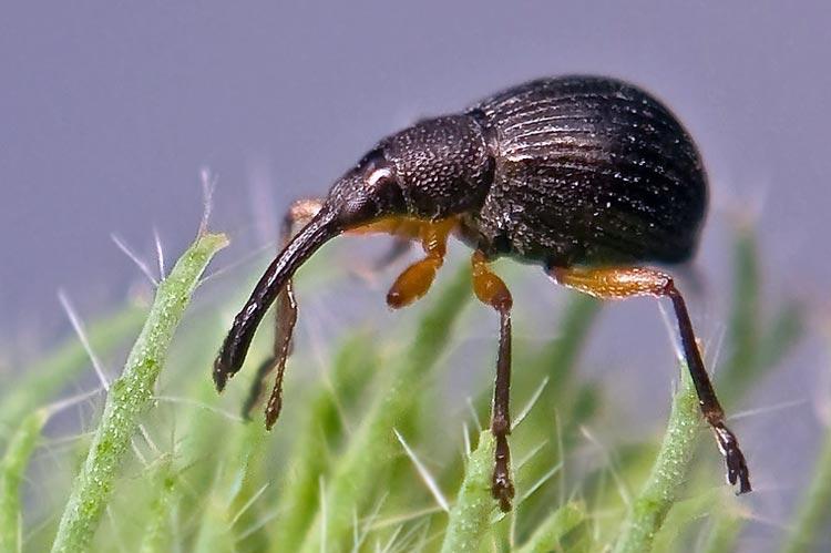 Клеверный семяед - Apion apricans