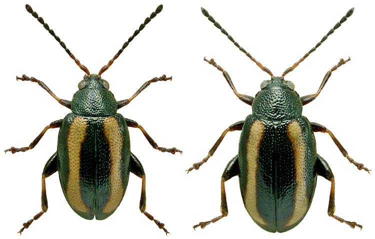 Блошка волнистая (слева - самец, самка) - Phyllotreta undulata