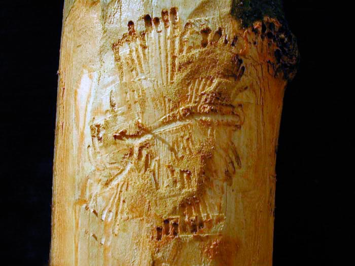 Повреждения лубоед ясеневый пёстрый - Hylesinus fraxini