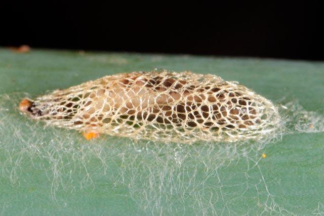 Куколка луковой моли - Acrolepiopsis assectella