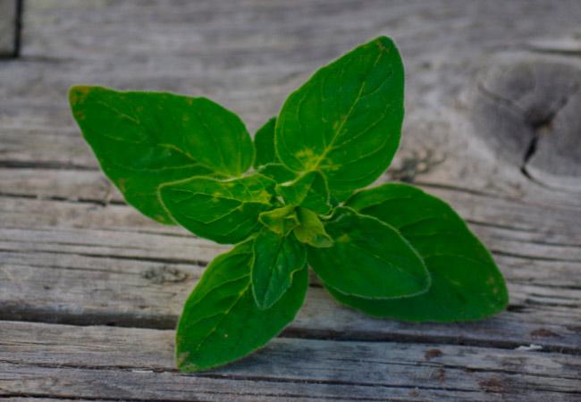 Трава майоран полезные свойства и противопоказания
