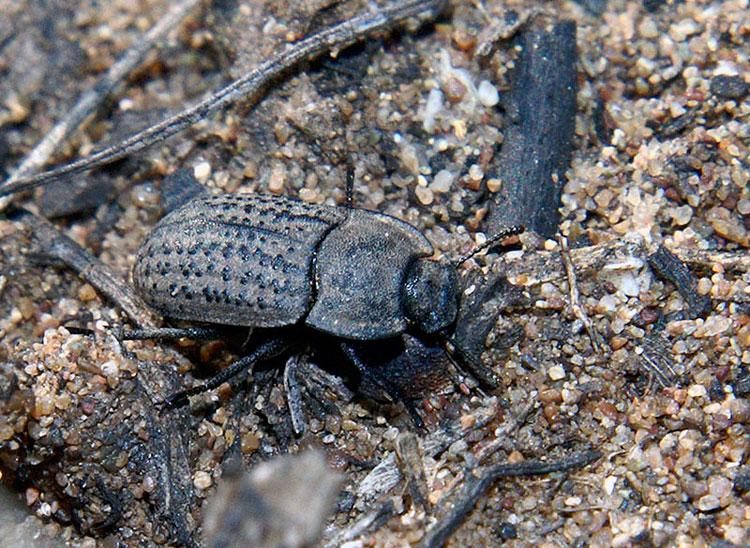 Медляк песчаный - Opatrum sabulosum