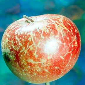 Мучнистая роса яблони (пораженный плод) – Podosphaera leucotricha