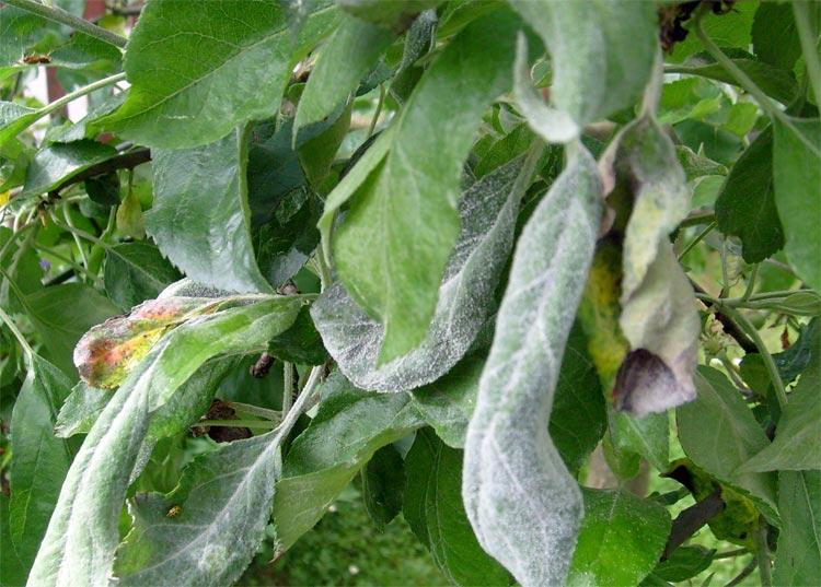 Мучнистая роса яблони – Podosphaera leucotricha