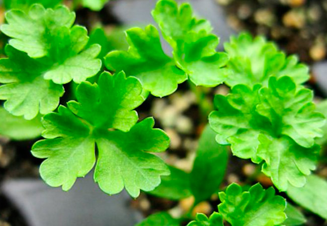 Уход за листовой петрушкой при выращивании